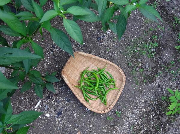 夏から秋、庭の恵みはブドウ、イチジク、ミョウガ等々♪_a0136293_16150884.jpg
