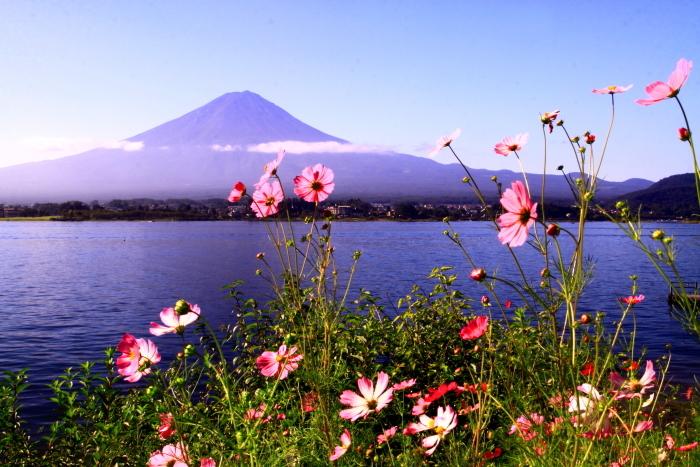 令和元年9月の富士(24)河口湖のコスモスと富士_e0344396_17255065.jpg
