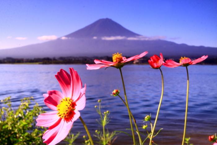 令和元年9月の富士(24)河口湖のコスモスと富士_e0344396_17260020.jpg