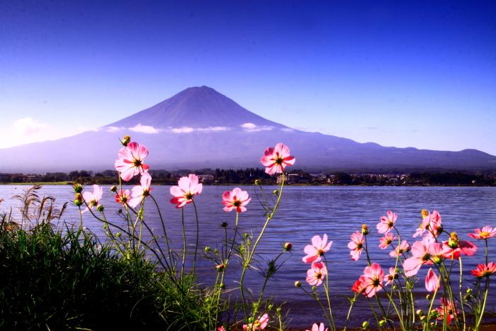 令和元年9月の富士(24)河口湖のコスモスと富士_e0344396_17261650.jpg