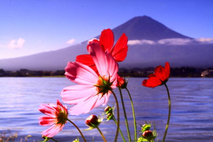 令和元年9月の富士(24)河口湖のコスモスと富士_e0344396_17263156.jpg