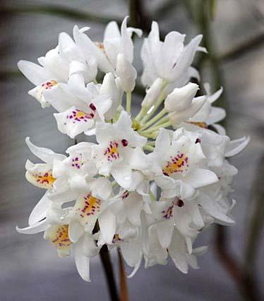 Neobenthamia. gracilis_d0007501_12565968.jpg