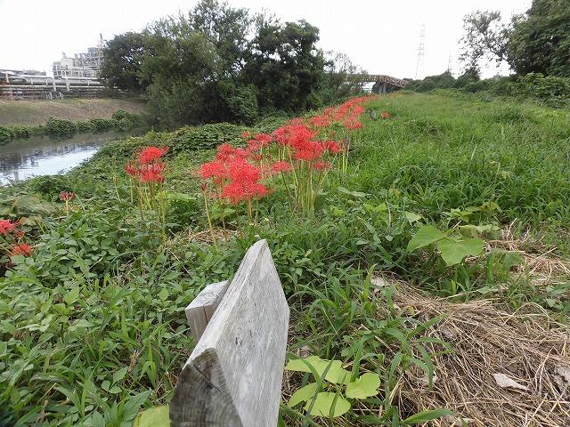 滝川のヒガンバナが7分咲き! 今週末は是非お出かけを!_f0141310_07591302.jpg