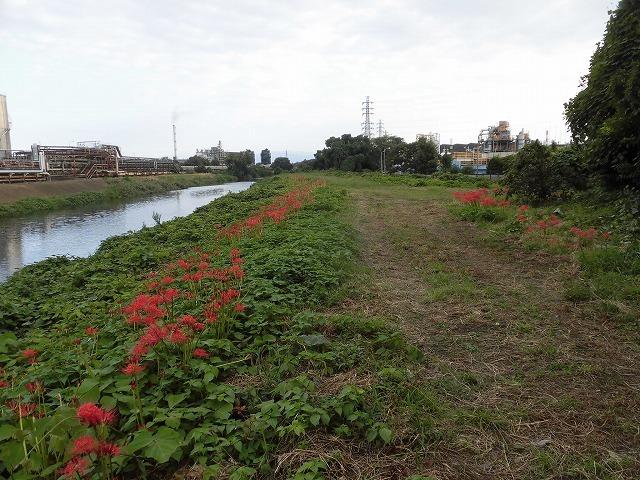 滝川のヒガンバナが7分咲き! 今週末は是非お出かけを!_f0141310_07592061.jpg