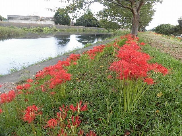 滝川のヒガンバナが7分咲き! 今週末は是非お出かけを!_f0141310_07594786.jpg