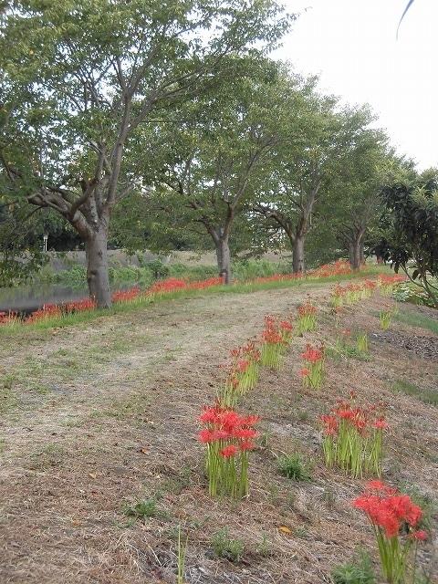 滝川のヒガンバナが7分咲き! 今週末は是非お出かけを!_f0141310_08000069.jpg