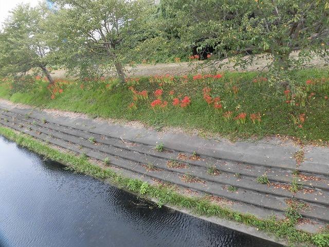 滝川のヒガンバナが7分咲き! 今週末は是非お出かけを!_f0141310_08001895.jpg