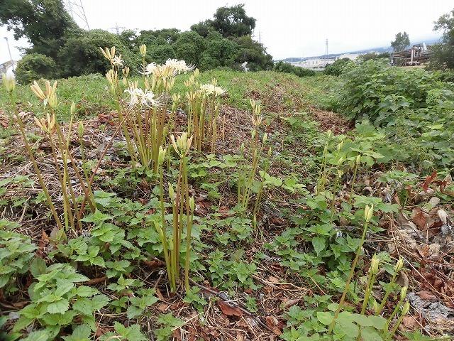 滝川のヒガンバナが7分咲き! 今週末は是非お出かけを!_f0141310_08003873.jpg
