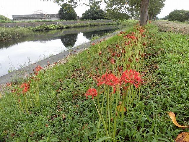 滝川のヒガンバナが7分咲き! 今週末は是非お出かけを!_f0141310_08010139.jpg