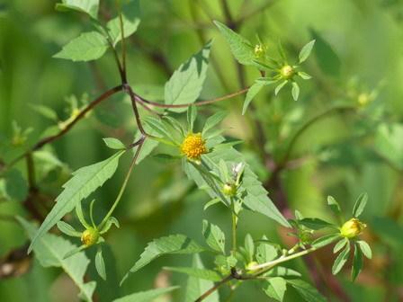 竹とんぼづくりと秋の自然観察_a0123836_15583449.jpg