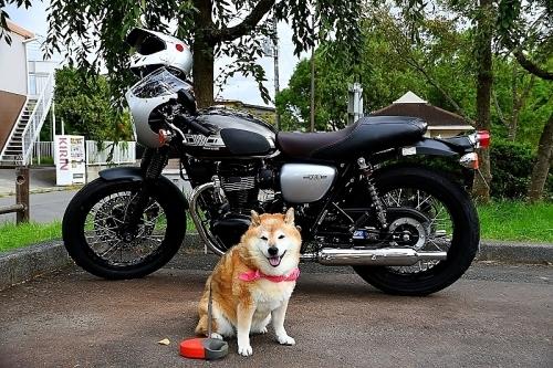 柴犬ライダー_b0314043_07033886.jpg
