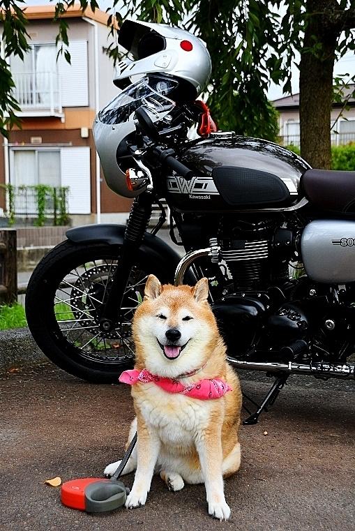 柴犬ライダー_b0314043_07035069.jpg