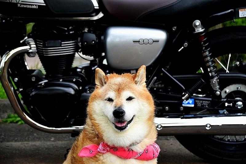 柴犬ライダー_b0314043_07154641.jpg