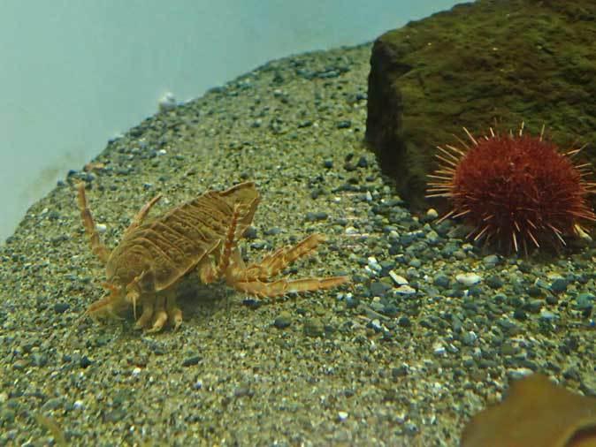 葛西臨海水族園~南極のダンゴムシとまったりヒトデ_b0355317_21483053.jpg