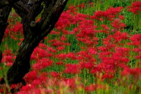 箕輪の赤蕎麦と嶺岳寺の彼岸花_c0077531_15430041.jpg