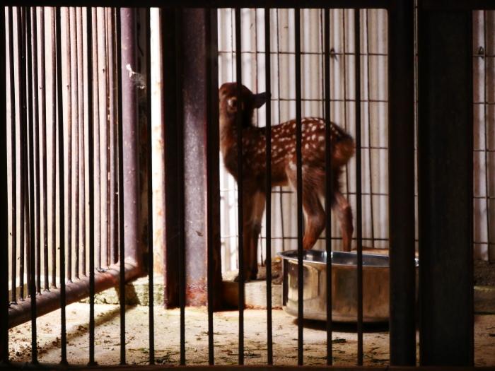 お城の動物園 鹿の赤ちゃん生まれる  2019-09-30 00:00  _b0093754_17115678.jpg