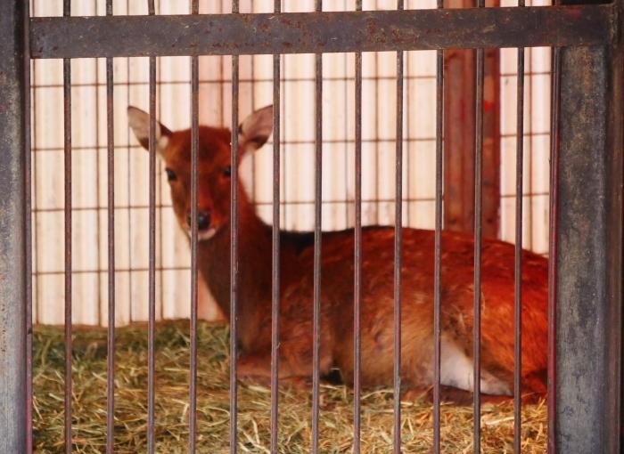 お城の動物園 鹿の赤ちゃん生まれる  2019-09-30 00:00  _b0093754_17123298.jpg