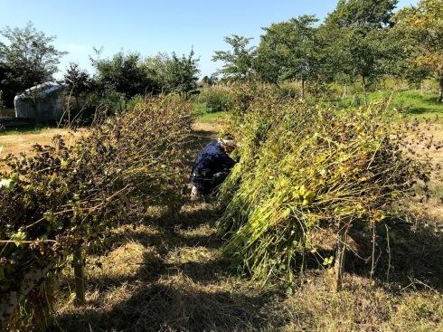 日日庵2019/収穫1・刈り取り_c0189970_17082175.jpg