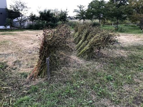 日日庵2019/収穫1・刈り取り_c0189970_17220389.jpg