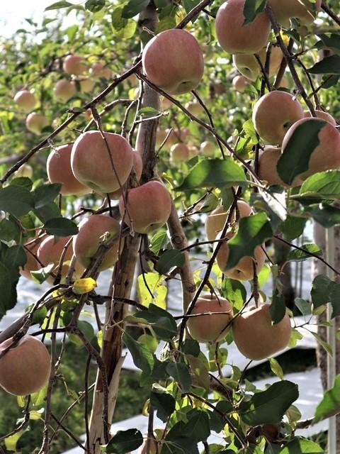 小倉美咲ちゃんの安否を心配しています。美咲ちゃんを探しましょう。これは事件なのか、事故なのか、子供の命は大人が守る・・・国民が守る、国が守る・・・リンゴ畑の可愛さとダブり涙が出ます。_d0181492_16023349.jpg