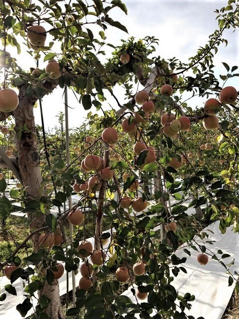 小倉美咲ちゃんの安否を心配しています。美咲ちゃんを探しましょう。これは事件なのか、事故なのか、子供の命は大人が守る・・・国民が守る、国が守る・・・リンゴ畑の可愛さとダブり涙が出ます。_d0181492_16024296.jpg