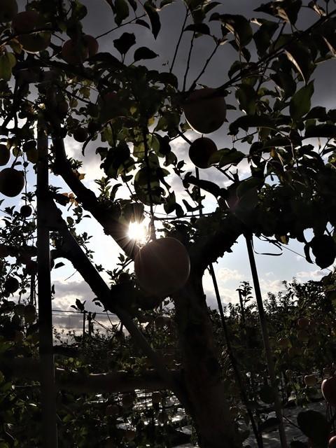小倉美咲ちゃんの安否を心配しています。美咲ちゃんを探しましょう。これは事件なのか、事故なのか、子供の命は大人が守る・・・国民が守る、国が守る・・・リンゴ畑の可愛さとダブり涙が出ます。_d0181492_16025212.jpg