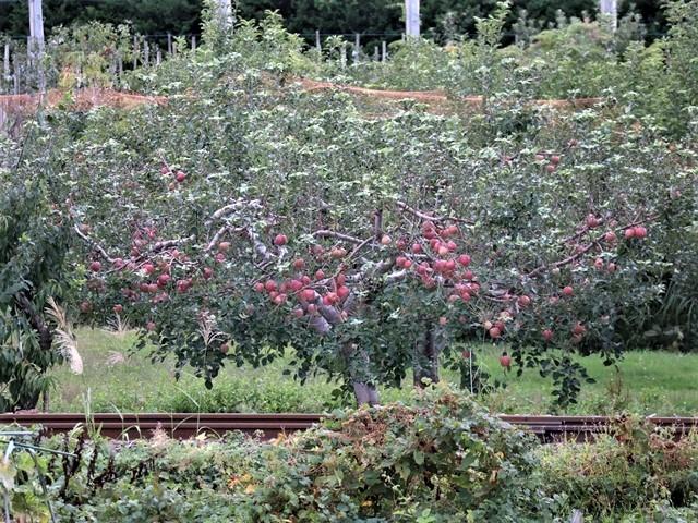 小倉美咲ちゃんの安否を心配しています。美咲ちゃんを探しましょう。これは事件なのか、事故なのか、子供の命は大人が守る・・・国民が守る、国が守る・・・リンゴ畑の可愛さとダブり涙が出ます。_d0181492_16031372.jpg