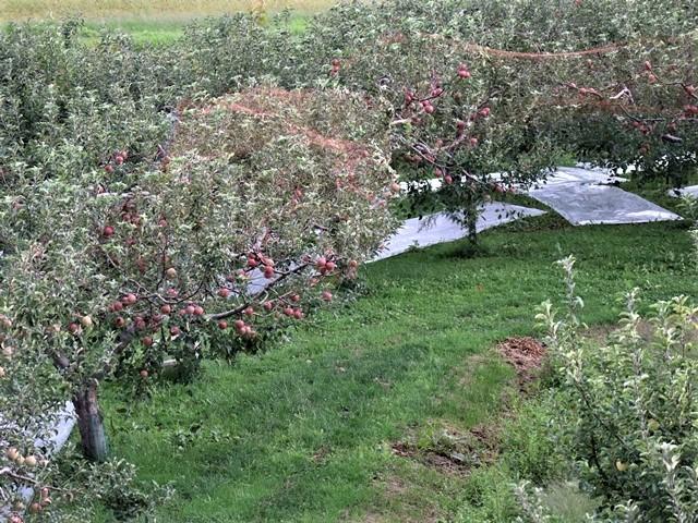 藤田八束の鉄道写真@東北のリゾート列車「しらかみ」五能線を走る、リンゴ畑と岩木山、そして「しらかみ」・・・国会論争に期待_d0181492_16042860.jpg