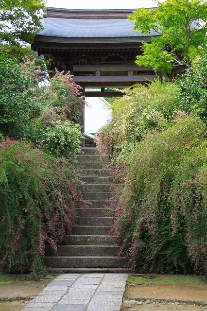 鎌倉の秋の花 海蔵寺の萩_f0374092_21240078.jpg