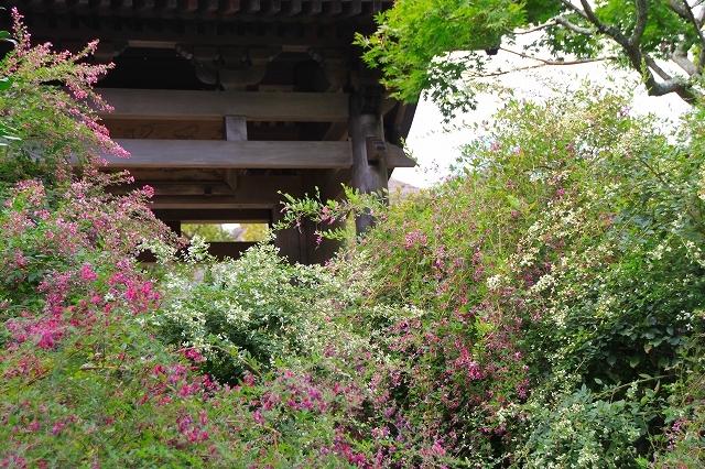 鎌倉の秋の花 海蔵寺の萩_f0374092_21245630.jpg