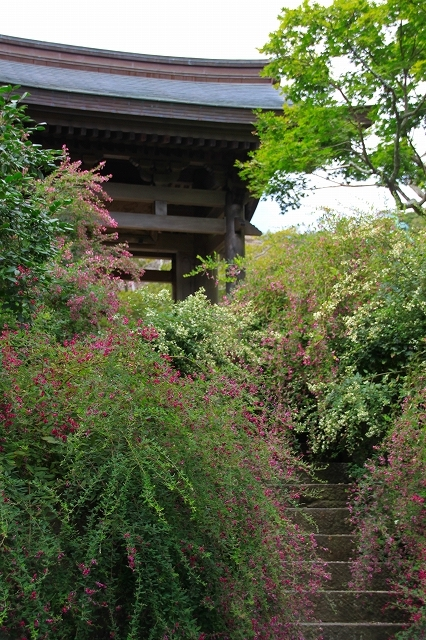 鎌倉の秋の花 海蔵寺の萩_f0374092_21270957.jpg