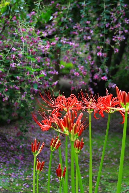 鎌倉の秋の花 海蔵寺の萩_f0374092_21314333.jpg