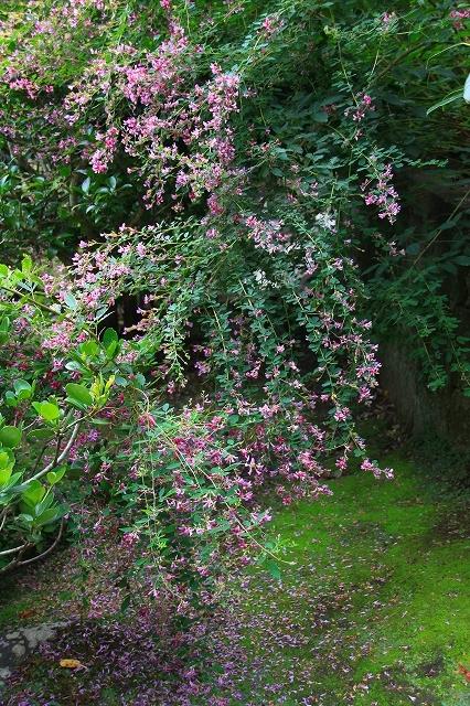 鎌倉の秋の花 海蔵寺の萩_f0374092_21323707.jpg