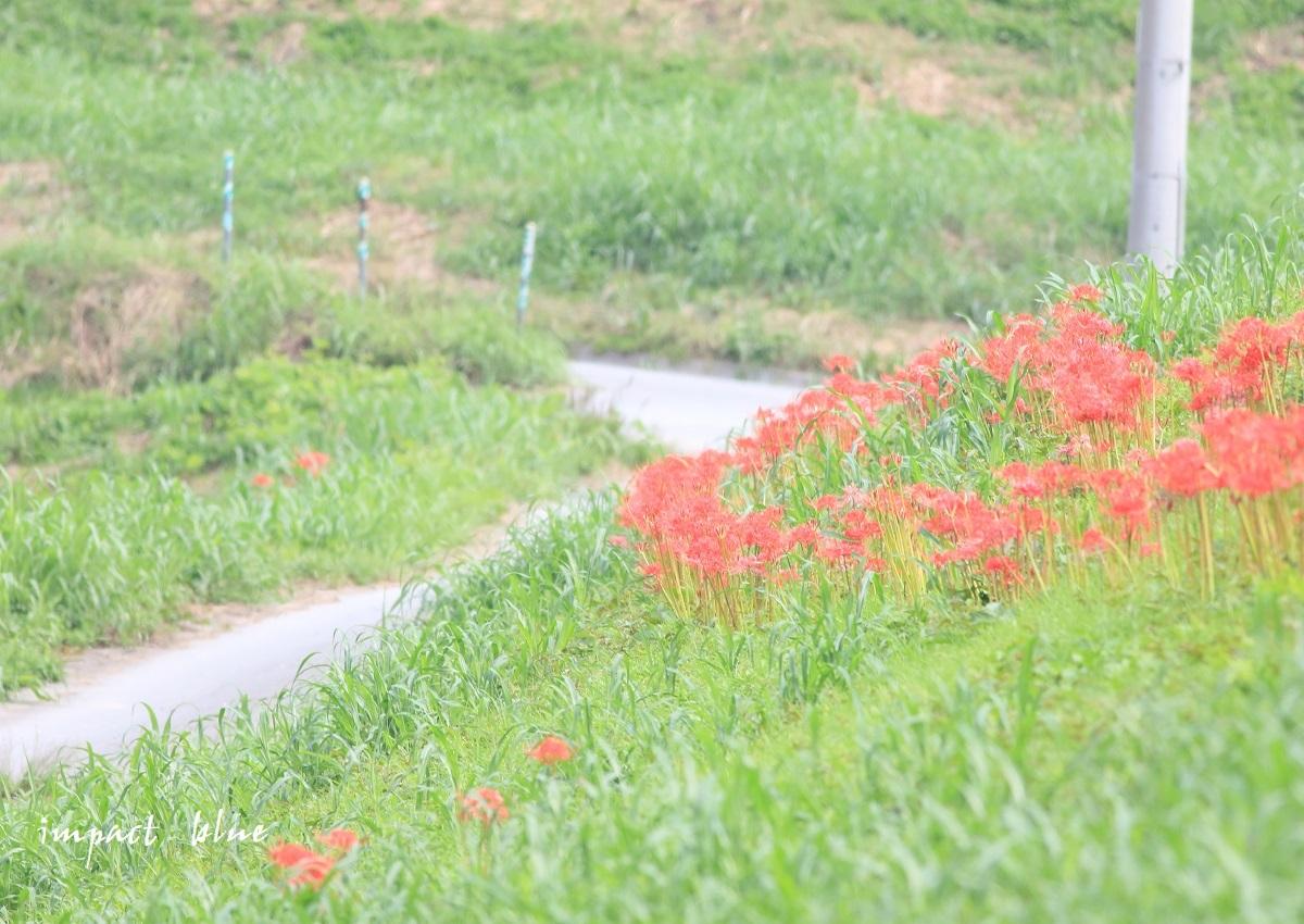 近くの田んぼで彼岸花(^^)/_a0355908_14431835.jpg