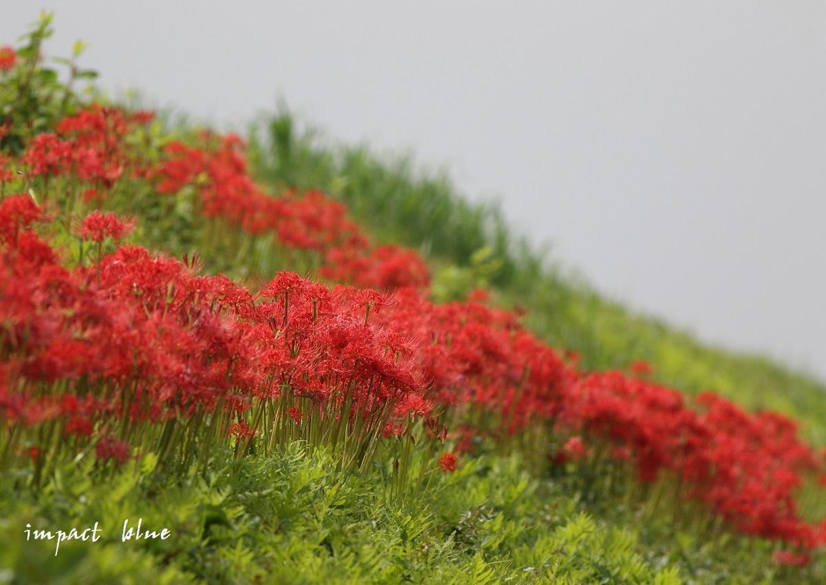 近くの田んぼで彼岸花(^^)/_a0355908_14433014.jpg