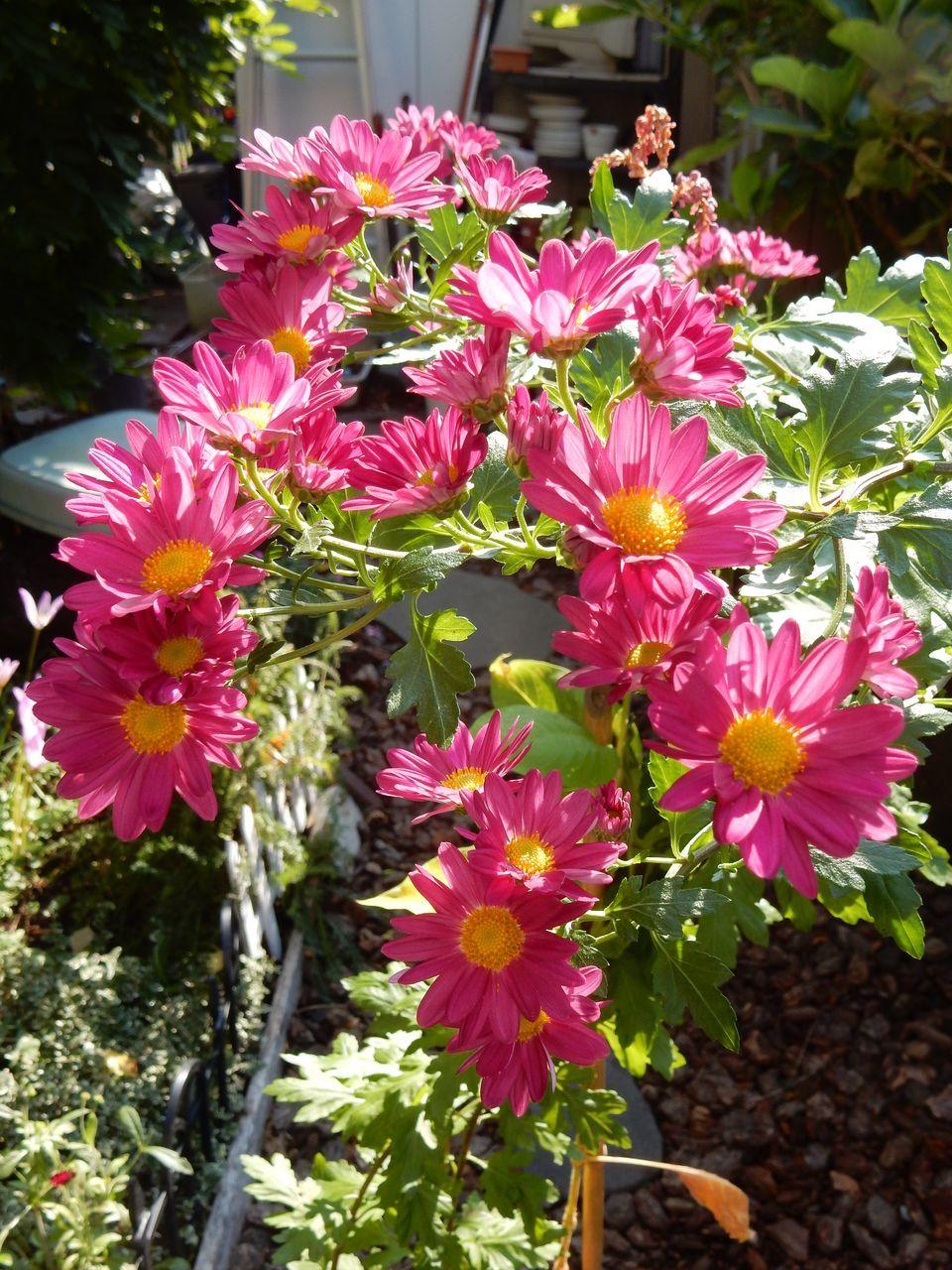 菊の秋_c0025115_22441994.jpg