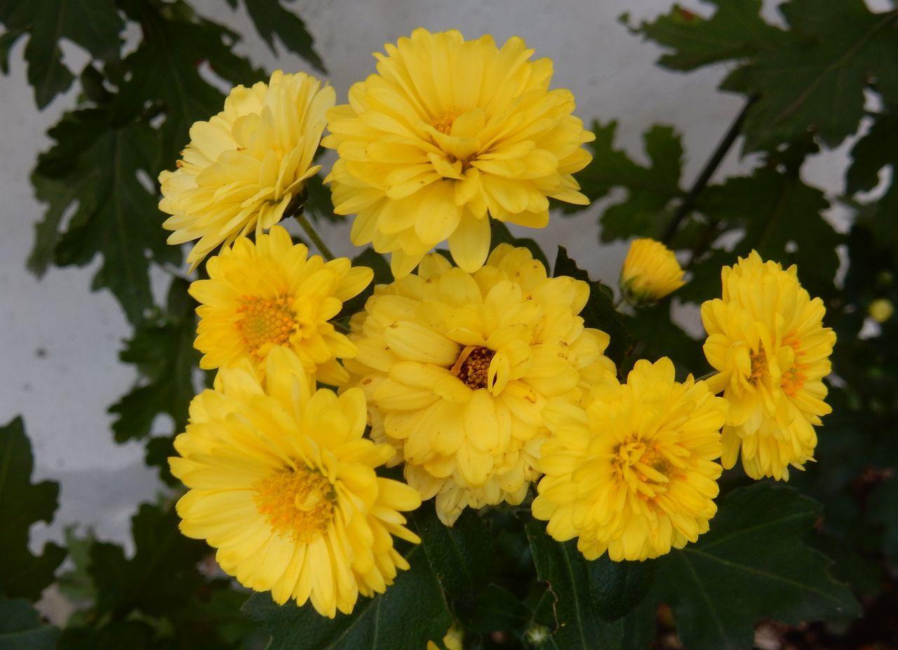 菊の秋_c0025115_22460380.jpg