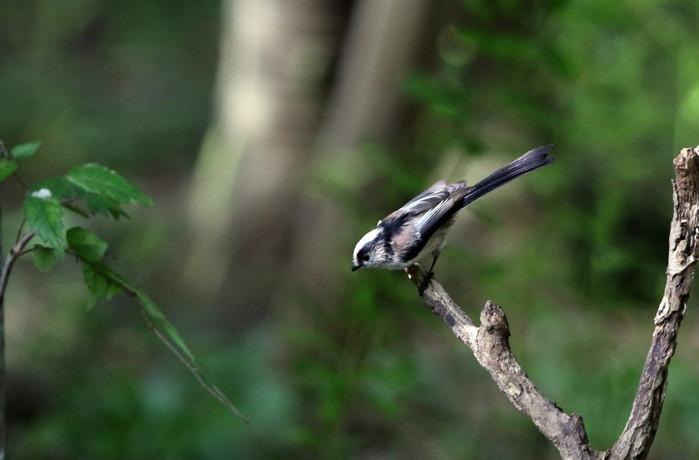 MFの森の水場にエナガの姿が見られました_f0239515_16464090.jpg