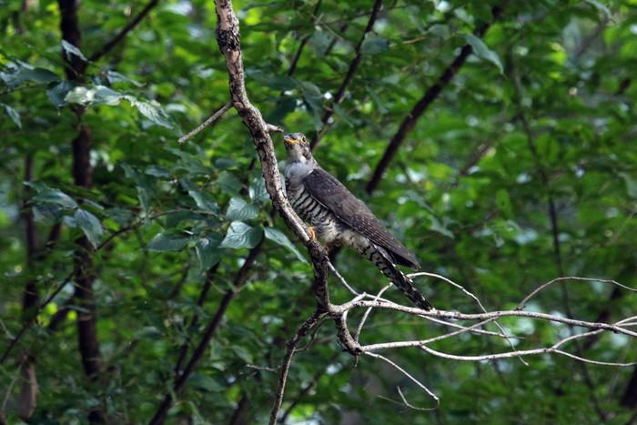 渡りの立ち寄りの鳥(ツツドリその2)_f0239515_17101598.jpg