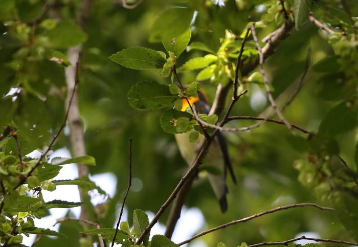 MFの森に渡りの立ち寄りの鳥(キビタキ その4)_f0239515_17172188.jpg