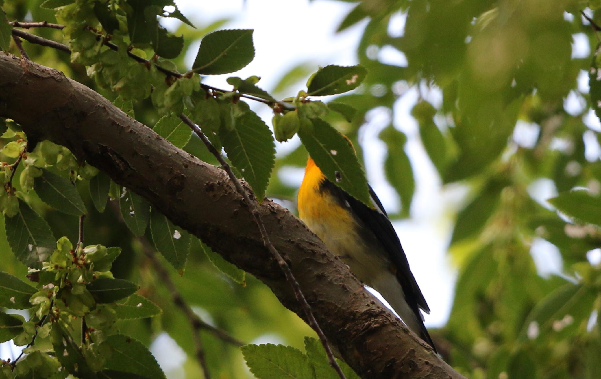 MFの森に渡りの立ち寄りの鳥(キビタキ その4)_f0239515_1718196.jpg