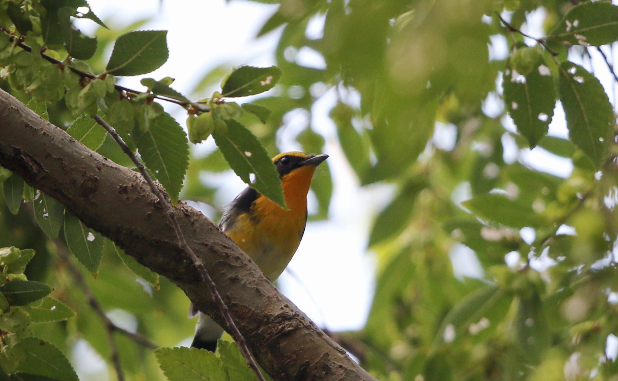 MFの森に渡りの立ち寄りの鳥(キビタキ その4)_f0239515_17185485.jpg
