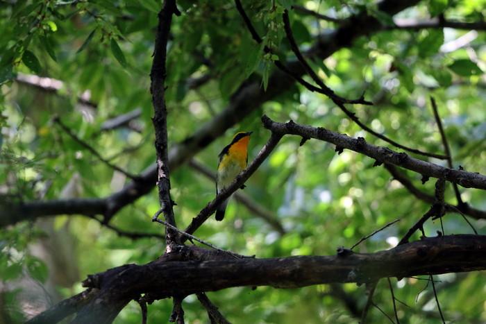 MFの森に渡りの立ち寄りの鳥(キビタキ その4)_f0239515_17232891.jpg
