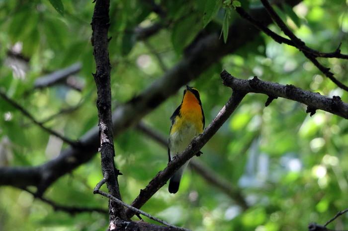 MFの森に渡りの立ち寄りの鳥(キビタキ その4)_f0239515_1724187.jpg