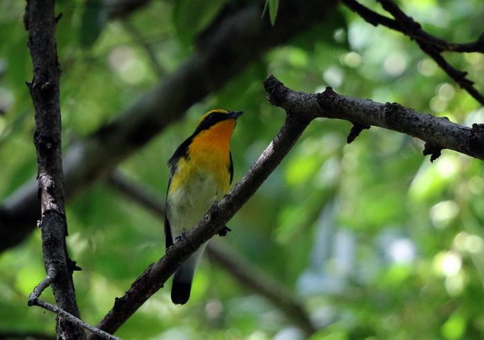 MFの森に渡りの立ち寄りの鳥(キビタキ その4)_f0239515_17241934.jpg