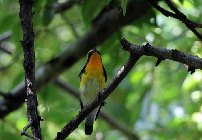 MFの森に渡りの立ち寄りの鳥(キビタキ その4)_f0239515_17243888.jpg