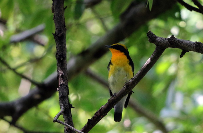MFの森に渡りの立ち寄りの鳥(キビタキ その4)_f0239515_1725152.jpg