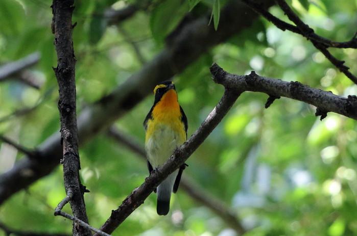 MFの森に渡りの立ち寄りの鳥(キビタキ その4)_f0239515_17253512.jpg