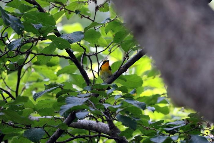 MFの森に渡りの立ち寄りの鳥(キビタキ その4)_f0239515_17273312.jpg