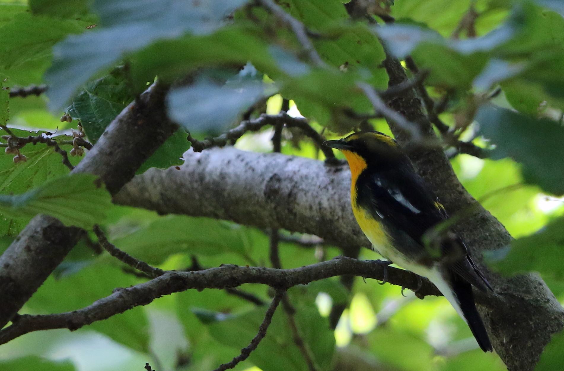 MFの森に渡りの立ち寄りの鳥(キビタキ その4)_f0239515_1727510.jpg